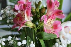 Bei fiori della PIANTA di ALSTROEMERIA del giglio peruviano Fotografia Stock