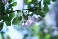 Bei fiori della prugna Fotografia Stock Libera da Diritti