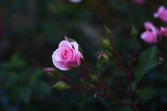 Bei fiori della rosa di rosa al crepuscolo Fotografia Stock