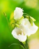 Bei fiori della sorgente Fotografia Stock Libera da Diritti