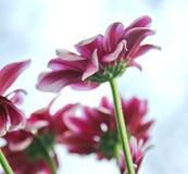 Bei fiori della sorgente Fotografia Stock