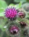 Bei fiori della spina Immagini Stock Libere da Diritti