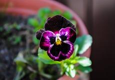 Bei fiori della viola tricolori fotografie stock