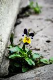 Bei fiori della viola tricolori immagini stock libere da diritti