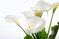 Bei fiori delle calle con la foglia isolata sui precedenti bianchi fotografia stock