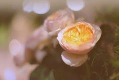 Bei fiori delle rose Immagine Stock Libera da Diritti