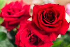 Bei fiori delle rose Immagini Stock