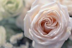 Bei fiori delle rose Fotografia Stock