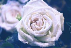Bei fiori delle rose Fotografie Stock