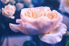 Bei fiori delle rose Immagine Stock