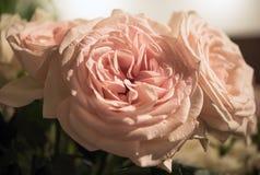 Bei fiori delle rose Immagini Stock Libere da Diritti