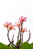 Bei fiori dentellare Immagine Stock Libera da Diritti
