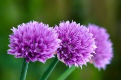 Bei fiori dentellare Immagini Stock Libere da Diritti