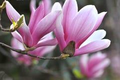 Bei fiori dentellare della magnolia Fotografia Stock