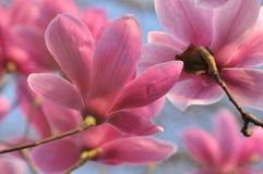 Bei fiori dentellare della magnolia Fotografie Stock