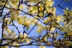 Bei fiori dentellare della magnolia Fotografie Stock Libere da Diritti