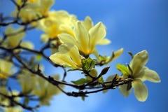 Bei fiori dentellare della magnolia Immagini Stock Libere da Diritti