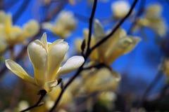 Bei fiori dentellare della magnolia Fotografia Stock Libera da Diritti
