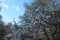 Bei fiori dentellare della magnolia Immagini Stock