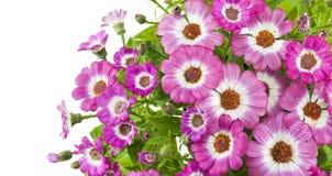 Bei fiori dentellare di cineraria Immagine Stock