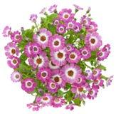 Bei fiori dentellare di cineraria Immagini Stock