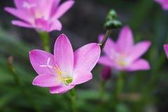 Bei fiori dentellare nel giardino Giglio della pioggia Fotografia Stock Libera da Diritti
