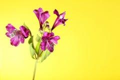 Bei fiori di alstroemeria Fotografia Stock