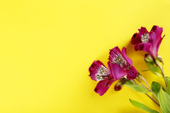 Bei fiori di alstroemeria Fotografie Stock Libere da Diritti
