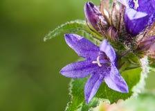 Bei fiori di campanule al fondo dell'erba verde immagini stock