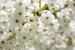 Bei fiori di ciliegia Fotografie Stock Libere da Diritti