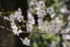 Bei fiori di ciliegia bianchi Fotografie Stock Libere da Diritti