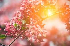 Bei fiori di ciliegia contro il sole Sakura Natu astratto Fotografia Stock