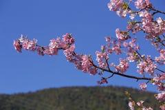 Bei fiori di ciliegia nel Giappone Immagini Stock