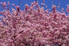 Bei fiori di ciliegia nel Giappone Immagine Stock Libera da Diritti