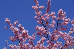 Bei fiori di ciliegia nel Giappone Fotografia Stock Libera da Diritti