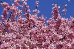 Bei fiori di ciliegia nel Giappone Fotografie Stock