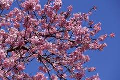 Bei fiori di ciliegia nel Giappone Immagine Stock