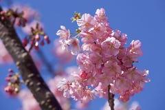 Bei fiori di ciliegia nel Giappone Fotografia Stock