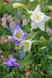 Bei fiori di colombina in giardino Immagini Stock
