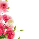 Bei fiori di eustoma sui precedenti bianchi Fotografie Stock Libere da Diritti