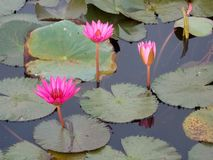 Bei fiori di loto fotografie stock