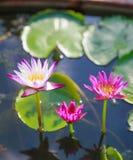 Bei fiori di loto bianchi e porpora acquatici sboccianti della ninfea nel fondo verde dello stagno Natura, pianta naturale, flora fotografia stock
