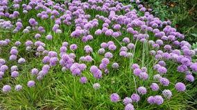 Bei fiori di millennio dell'allium nel giardino Fotografia Stock