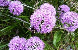 Bei fiori di millennio dell'allium nel giardino Immagine Stock
