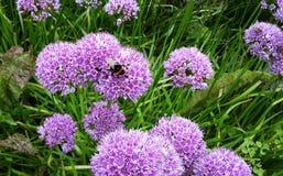 Bei fiori di millennio dell'allium nel giardino Immagine Stock Libera da Diritti