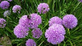 Bei fiori di millennio dell'allium nel giardino Fotografie Stock Libere da Diritti