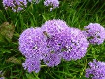 Bei fiori di millennio dell'allium nel giardino Fotografie Stock