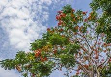 Bei fiori di pavone con cielo blu Immagini Stock