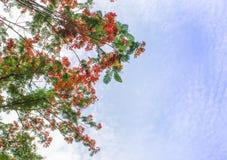 Bei fiori di pavone con cielo blu Immagine Stock