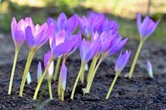 Bei fiori di purpleviolet nel giardino fotografia stock